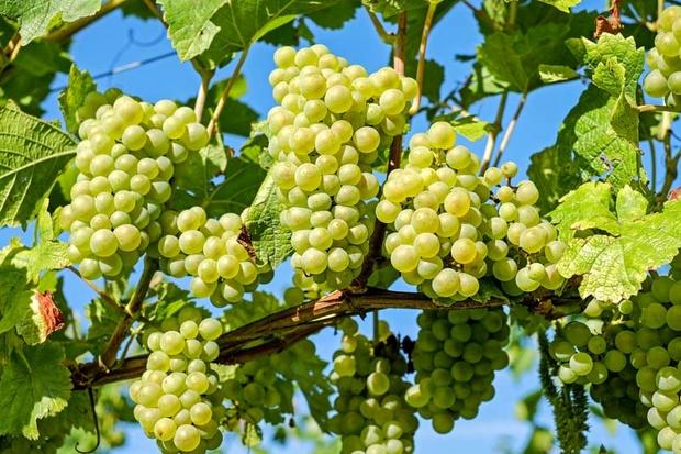 ۶۰ درصد انگور استان همدان در ملایر تولید میشود
