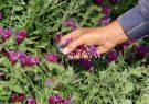برداشت گیاهان دارویی از جنگلها و مراتع همدان ممنوع است