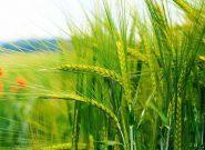 آغاز خرید تضمینی گندم از اوایل تیرماه در استان همدان