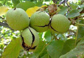 آغاز برداشت گردو از باغهای پایتخت طلای سبز ایران