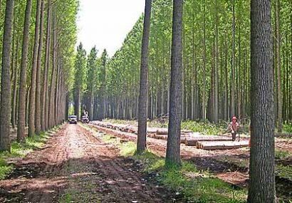 ۳۰ هزار هکتار زراعت چوب در دست اجرا است