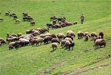 برآورد جمعیت دامی بیش از یک میلیون و ۳۱۵ هزار واحد دامی در استان