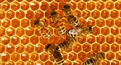 ممنوعیت برداشت عسل وحشی از مناطق حفاظت شده استان