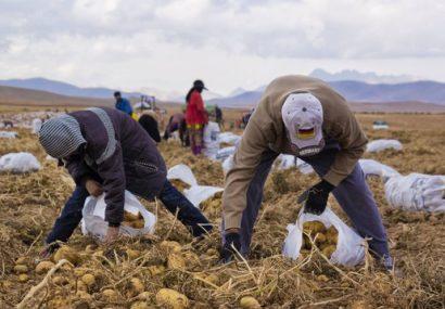 متوسط برداشت سیبزمینی از مزارع استان ۳۴ تا ۴۰ تن در هر هکتار است